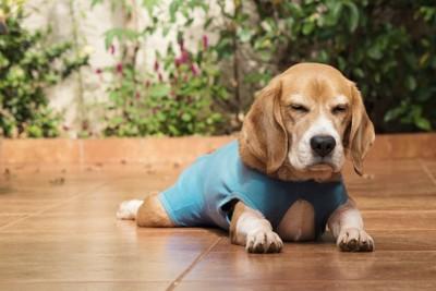 タイトな服を着ている犬