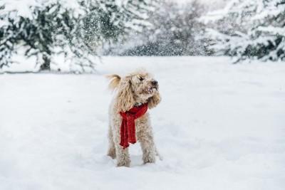 赤いマフラーをして雪の中に立つトイプードル
