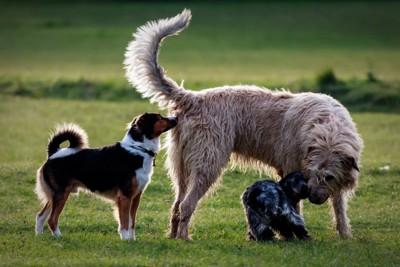 1頭の犬を嗅ぐ犬たち