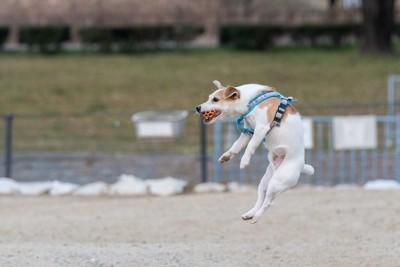 ジャンプしてボールをキャッチする犬