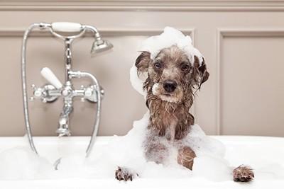 シャンプーで泡にまみれる犬