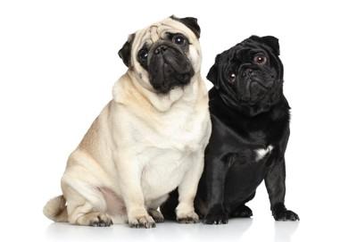 並んで座る黒と白のパグ