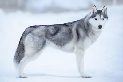 雪の中にたたずむシベリアンハスキー