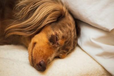 熟睡するダックス