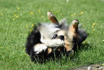 草の上で転がる犬