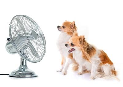 扇風機にあたっている2頭の犬