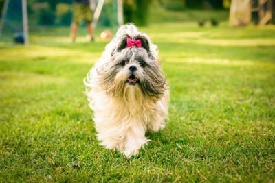 芝生を歩くリボンをつけた犬