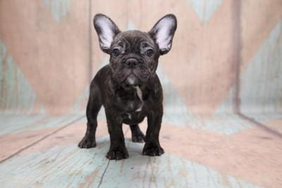 黒いフレンチブルドッグの子犬