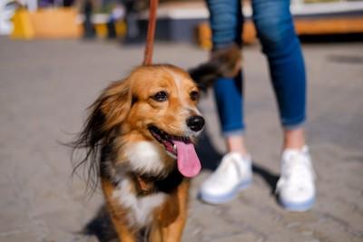散歩中の茶色い犬