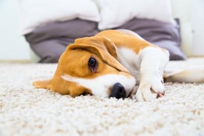 カーペットの上に寝転がる犬