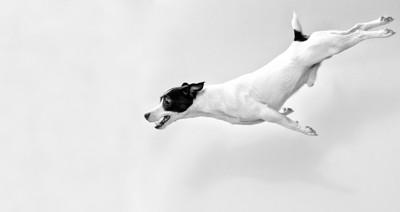 飛び降りる白い犬