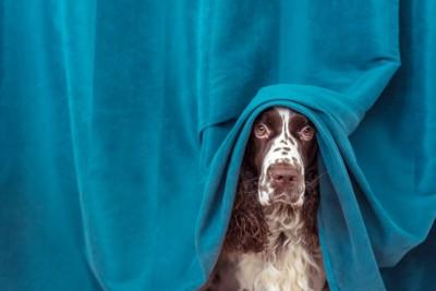 不安そうに隠れる犬