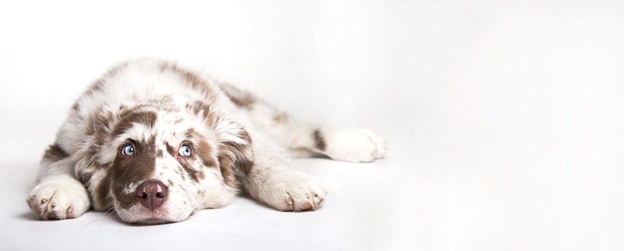 床に伏せる青い目の犬