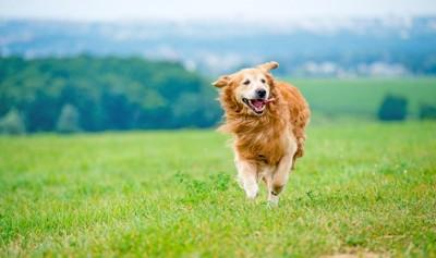草原を走るゴールデンレトリバー