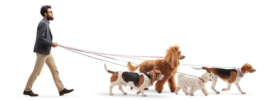 たくさんの犬を連れて歩く男性