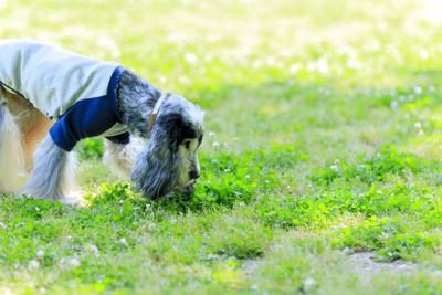 芝生のニオイを嗅ぐスパニエル