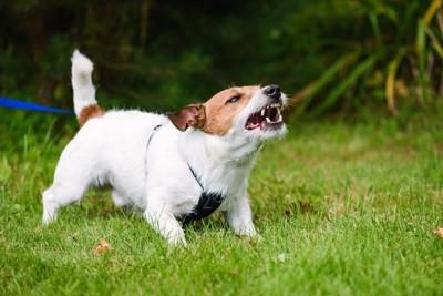 吠える散歩中の犬