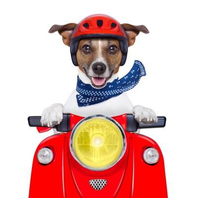 バイクに乗る犬