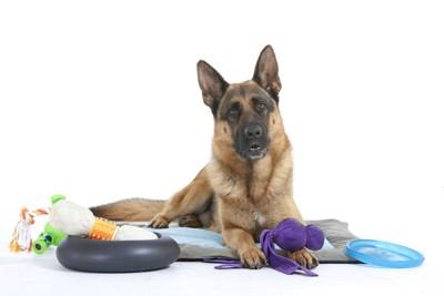 たくさんのおもちゃと犬