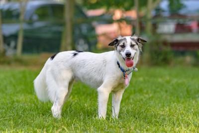 芝生の上に立って舌を出している犬