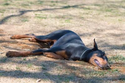 地面に寝転ぶドーベルマン