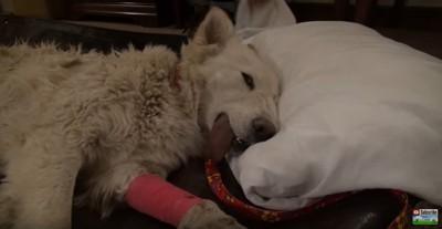 枕に頭を乗せる犬