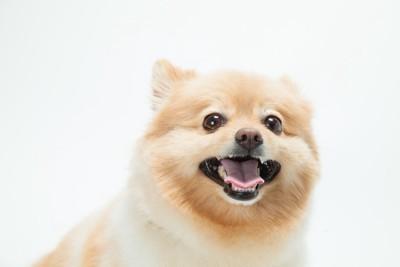 笑顔で口を大きく開けるポメラニアン