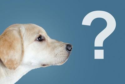 クエスチョンマークとラブラドールレトリーバーの子犬の横顔