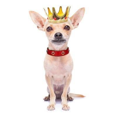 王冠をかぶった小型犬