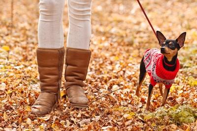 セーターを着て散歩をしているピンシャー