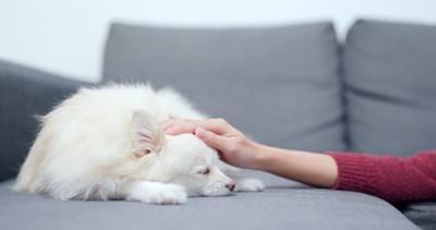 頭を撫でられる白い犬