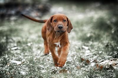 走るローデシアンリッジバックの子犬