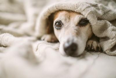 布団の中の犬