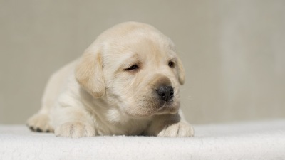 眠そうな表情のラブラドールレトリーバーの子犬