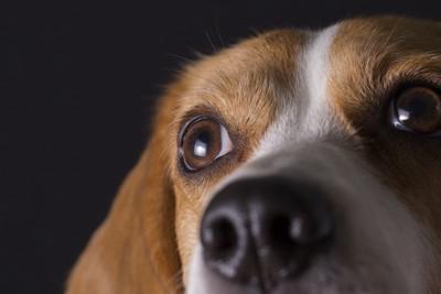 ビーグルの目と鼻のアップ