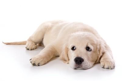 床に伏せて何かを見つめる子犬