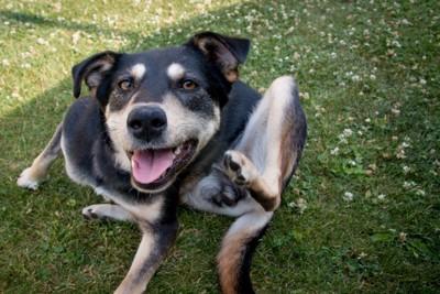 芝生に座って皮膚をかいている犬