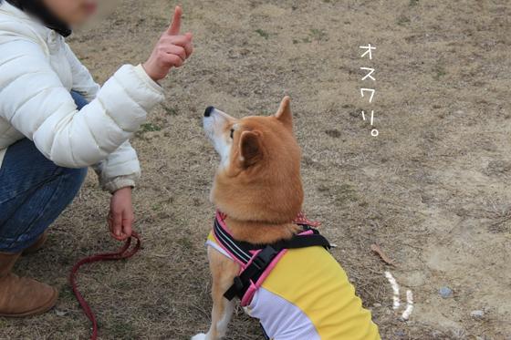 柴犬のオスワリ