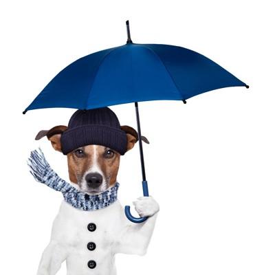 傘をさすジャックラッセルテリア