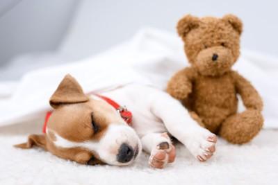 眠るジャックラッセルテリアとクマのぬいぐるみ