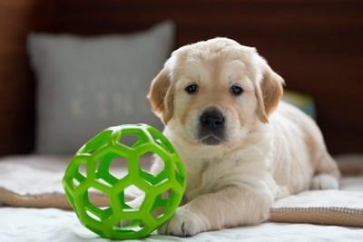 丸いおもちゃとゴールデンの子犬