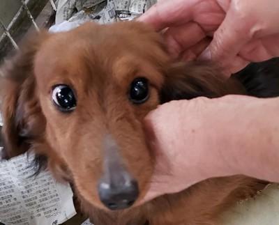 繁殖リタイヤ犬のミニチュアダックス顔正面