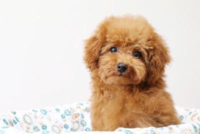 こちらを見つめるトイプーの子犬