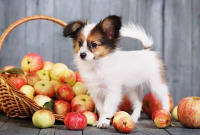 りんごと犬
