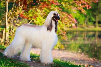 白い毛のアフガンハウンド