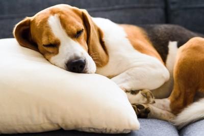 クッションを枕にして寝ているビーグル犬