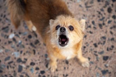 こちらを見て吠える犬