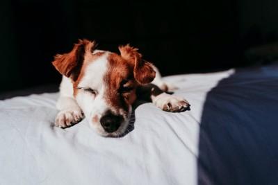 布団の上で目を閉じている犬