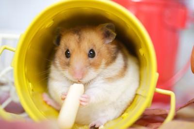 黄色い容器の中で食事をするハムスター