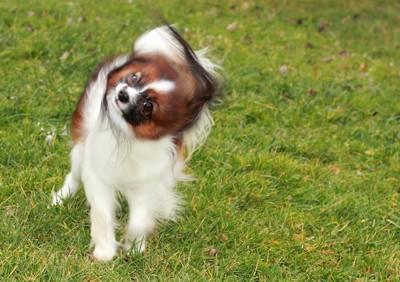 芝生の上で身震いするパピヨン